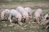 Piglets Defra